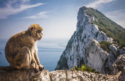 Berberaffe vor dem Fels von Gibraltar