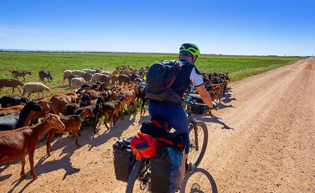 Radfahrer fährt an einer Ziegenherde vorbei